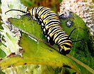 Monarch Caterpillar by Marcia Rubin