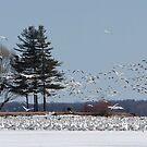 100K+ Series - Snow Geese by DigitallyStill