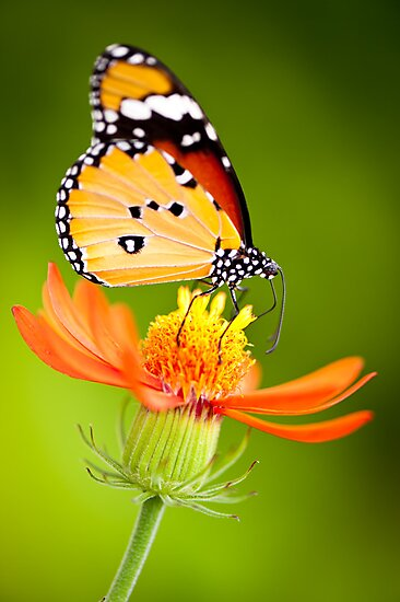Butterfly 8 by Jacinthe Brault