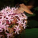 Hummingbird Moth in Clerodendrum by May Lattanzio