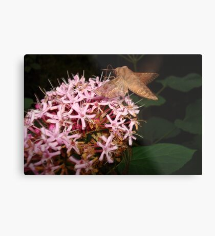 Hummingbird Moth in Clerodendrum Metal Print