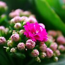 Kalanchoe blossfeldiana by TriciaDanby