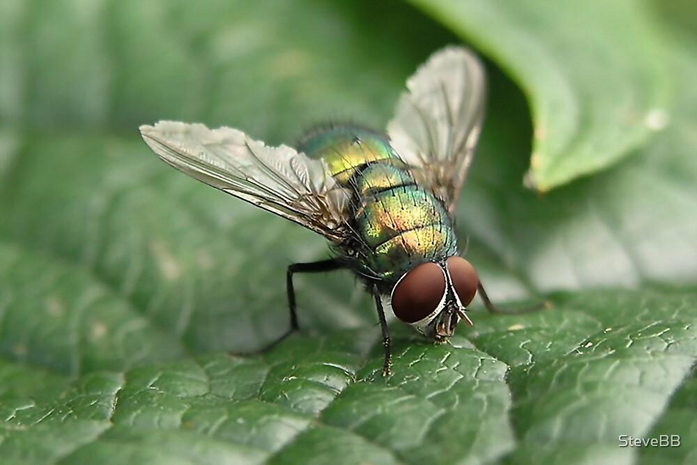 Greenbottle Fly by SteveBB