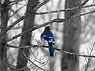 Blue Jay by Marcia Rubin
