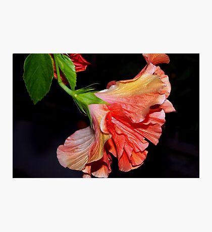Flamenco dancing hibiscus Photographic Print