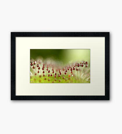 Sundew Framed Print