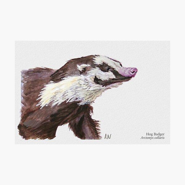 Hog Badger Photographic Print