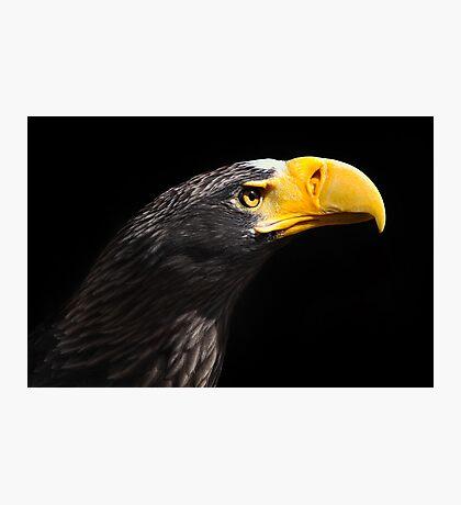 Stellar's Sea Eagle Photographic Print
