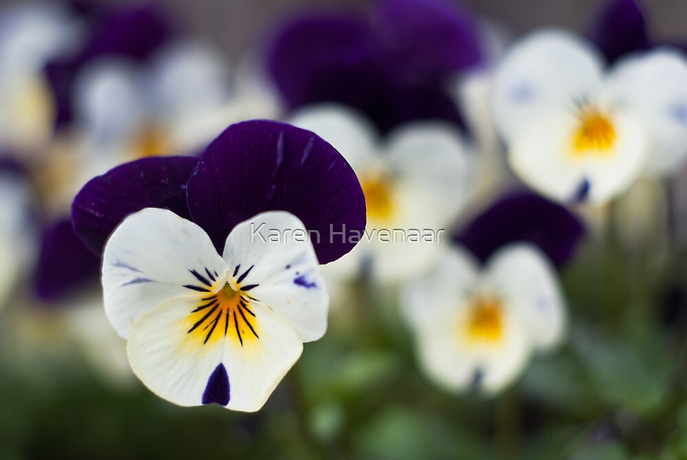 Pansies by Karen Havenaar