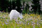 Mountain goat by JimGuy