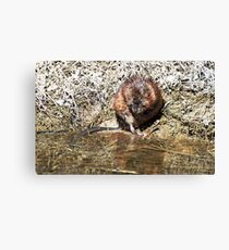 Mr Beaver Canvas Print