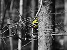 Goldfinch by Marcia Rubin