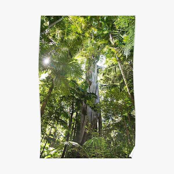 Sub-tropical Rainforest and majestic fig tree reaching to the sky Poster