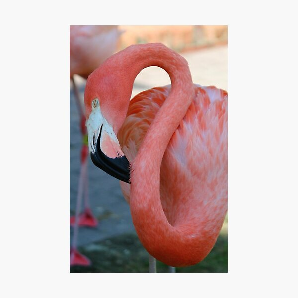 Flamingo 2 Photographic Print