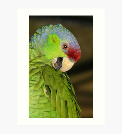 Amozon Lilac Crowned Parrot Art Print