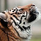 Tiger Tiger (Sumatran Tiger) by Foxfire