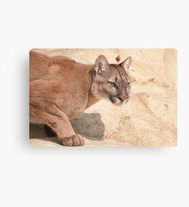 Cougar/Puma  _(Puma Concolor)_ Canvas Print