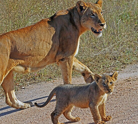 Lioness and cub(Mom wait ,i am not ready to go yet!) by Anthony Goldman