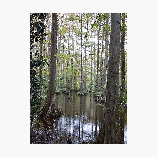 Cypress Photographic Print