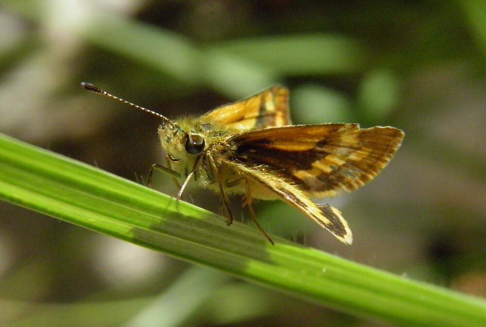 Greenish Grass-dart (Ocybadistes walkeri) - Kensington Gardens, South Australia by Dan Monceaux