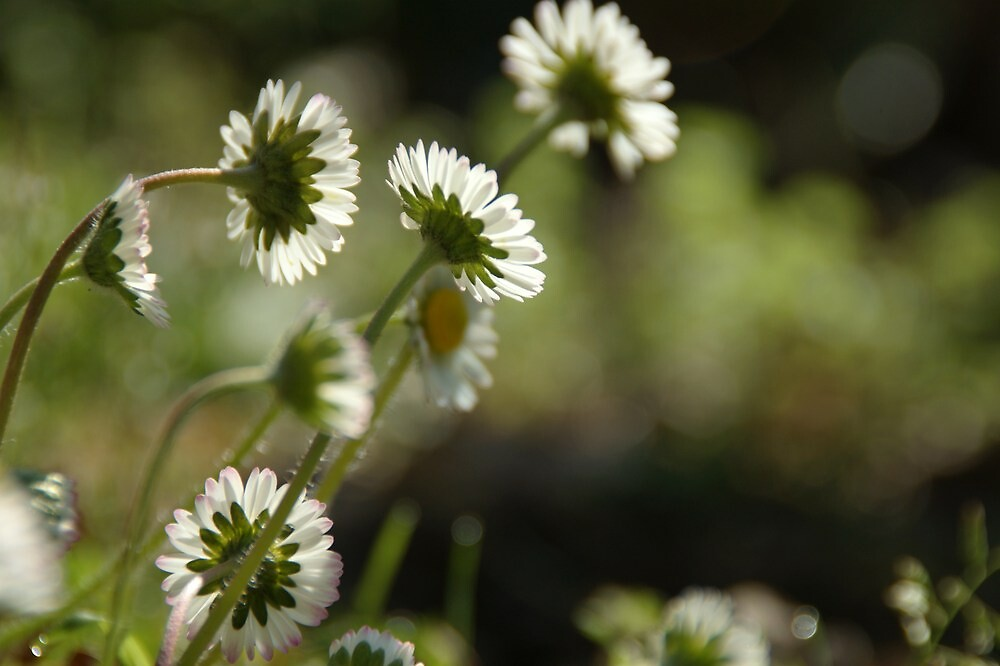 Daises by marens