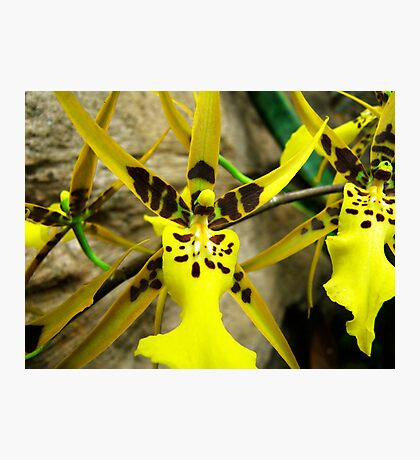 Orchid Collection - 13 Photographic Print