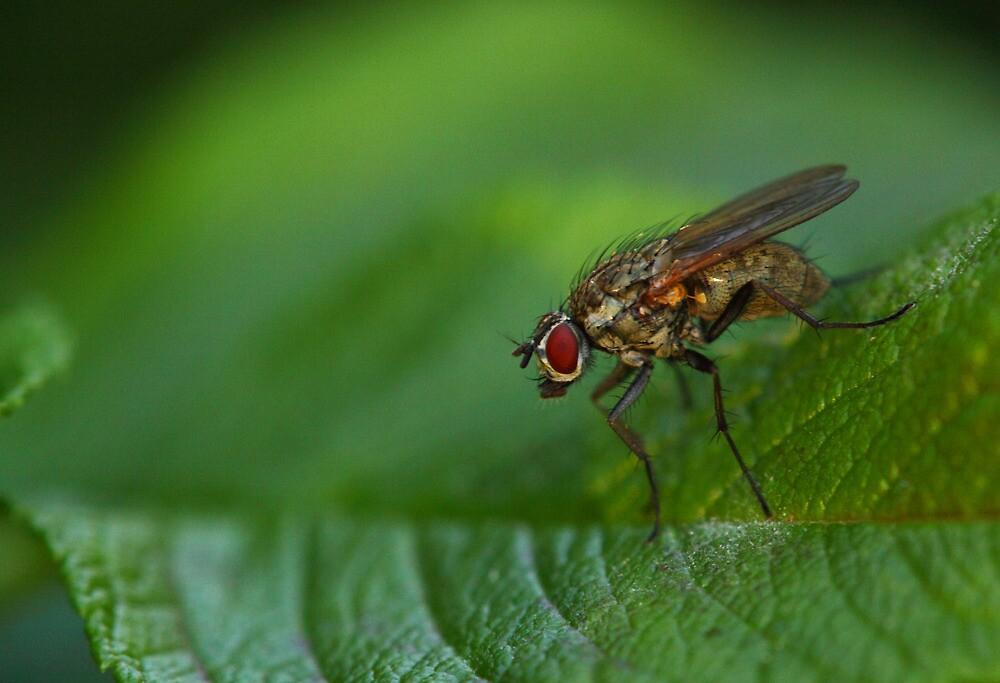 Fly on a leaf by Jouko Mikkola