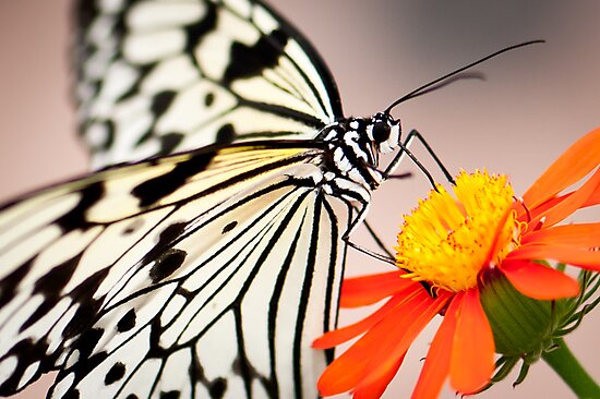 Butterfly 10 by Jacinthe Brault