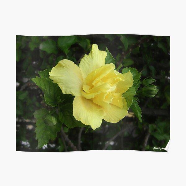 Double Yellow Hibiscus 1 Poster