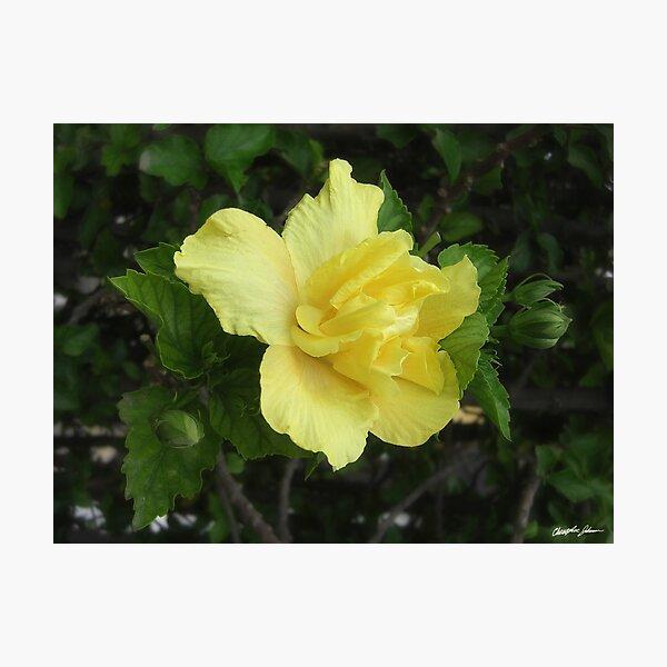 Double Yellow Hibiscus 1 Photographic Print