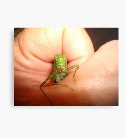 Safe in my hand...a katydid Metal Print