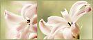 hyacinthus  by Angel Warda