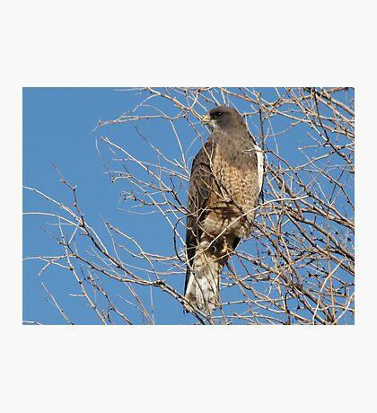 Swainson's Hawk ~ Migratory  Photographic Print