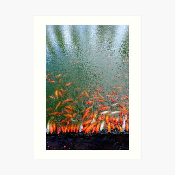 Orange Koi fish at pond edge Art Print