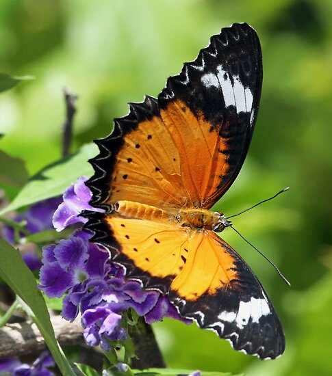 Another pretty butterfly! by jozi1