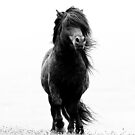 Shetland stallion B/W by Frances Taylor