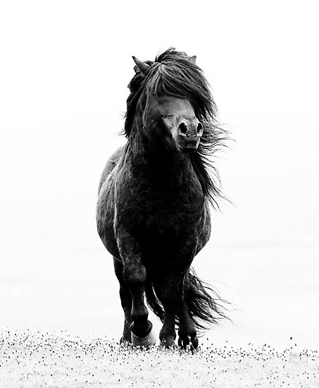 Shetland stallion B/W by Frances Taylor