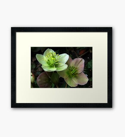 Two Hellebore Framed Print