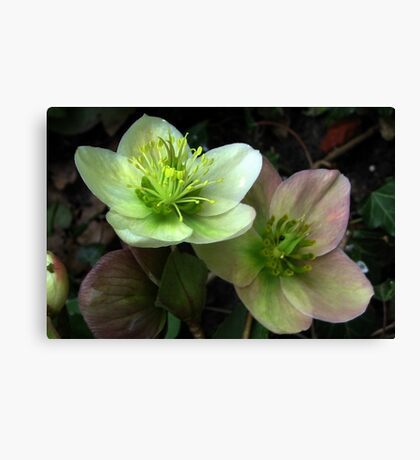 Two Hellebore Canvas Print