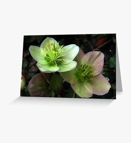 Two Hellebore Greeting Card