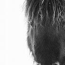 Shetland pony with ice by Frances Taylor