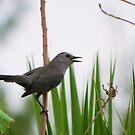 Gray Catbird singing to me by Ben Waggoner