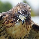 """Red Tailed Hawk """"Mantling"""" by Sandra Cockayne"""