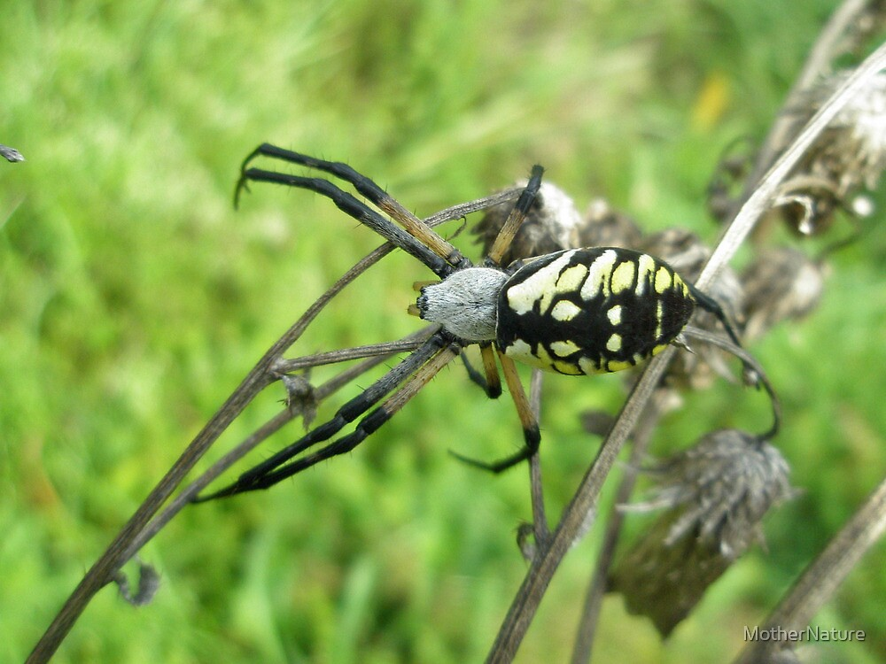 Golden Writing Spider - Argiope aurantia by MotherNature