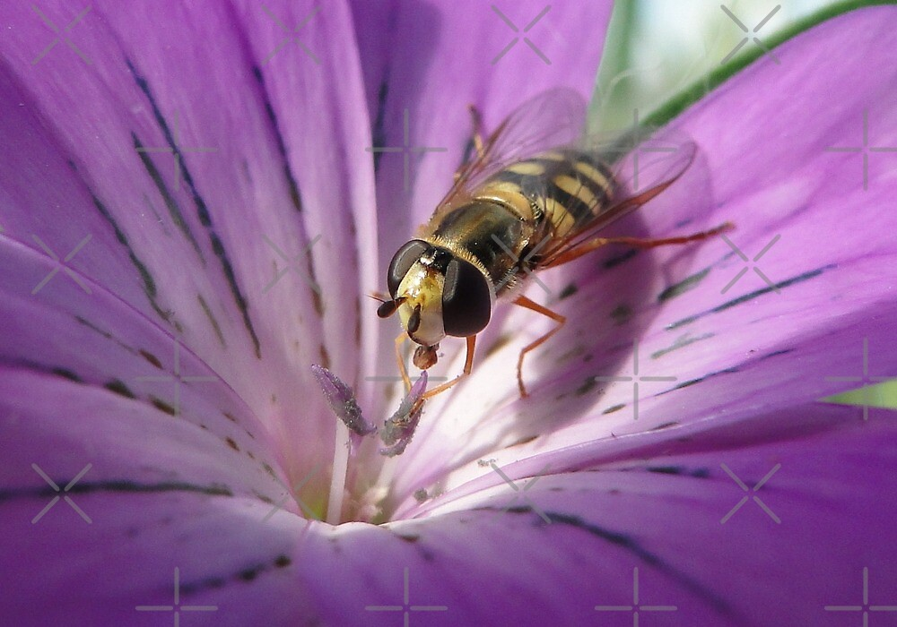 Corncockle Hoverfly by Barrie Woodward