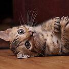 Bengal Kitten by aka-photography