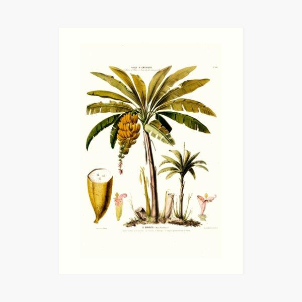 Le Bananier Tropical Banana Tree Flore D Amerique Art Print