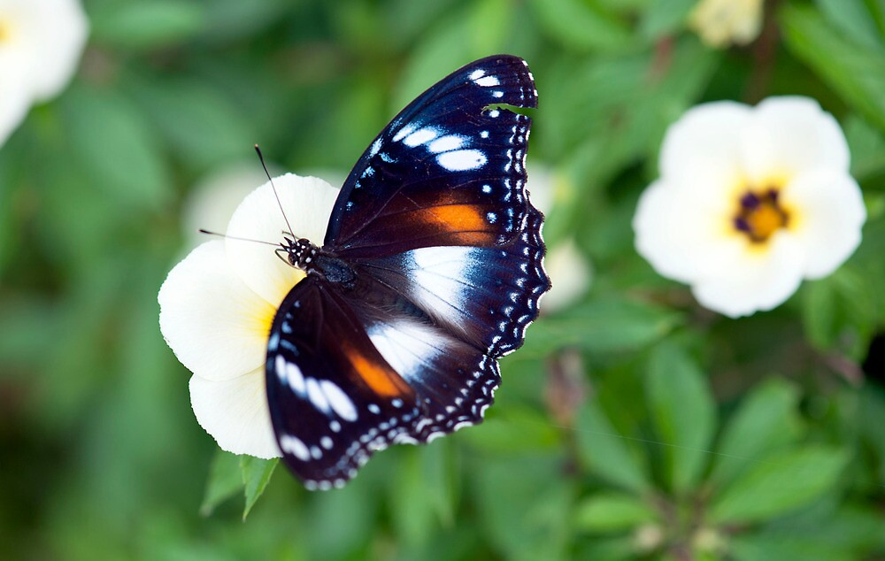 Common Eggfly Butterfly in my Innisfail garden by Jenny Dean