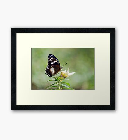 Sweet As - butterfly in Innisfail. Framed Print