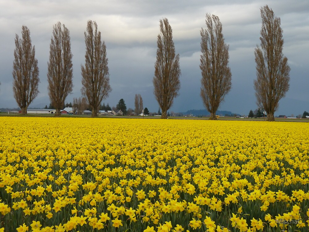 Daffodils and protective poplars by MischaC
